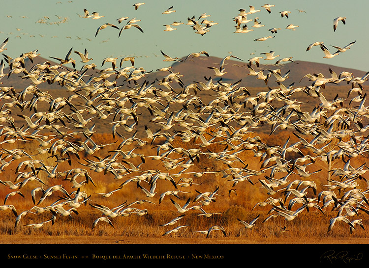 SnowGeese_SunsetFly-in_3071