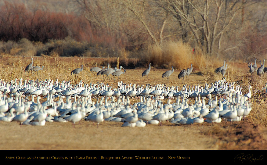 SnowGeese_andCranes_FarmField_HS8360_16x9