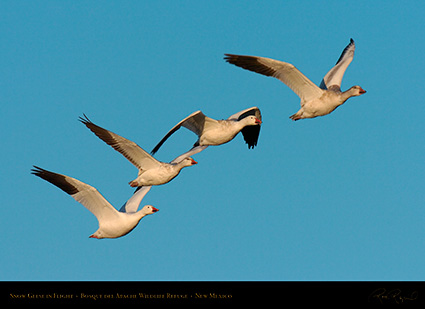 SnowGeese_MorningFlight_4179