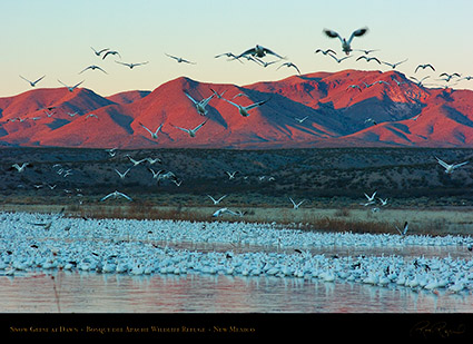 SnowGeese_atDawn_6435