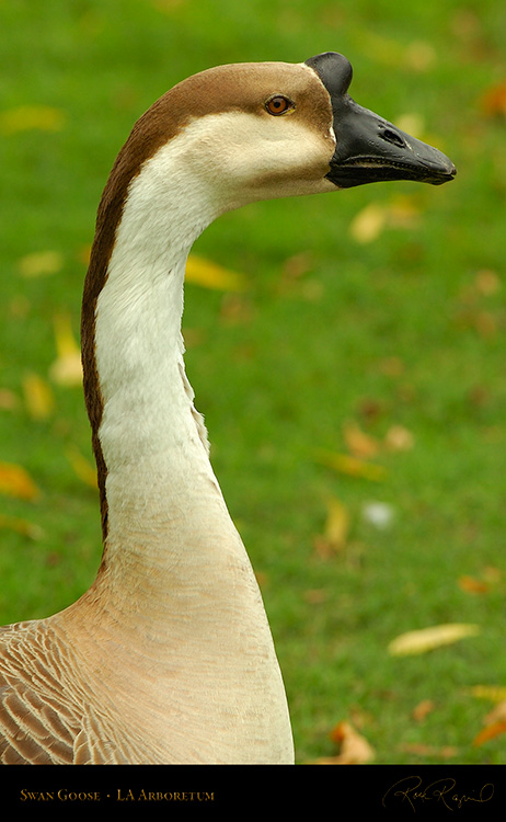 SwanGoose_Portrait_HS1317
