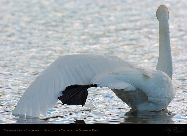 TrumpeterSwan_Stretching_9830
