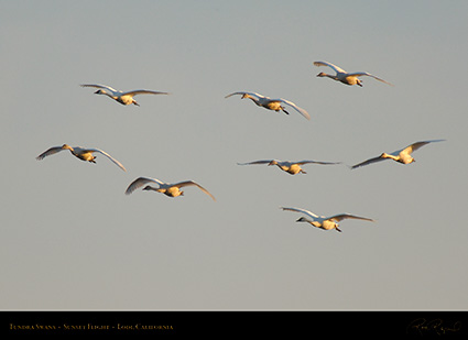 TundraSwans_Sunset_X7239