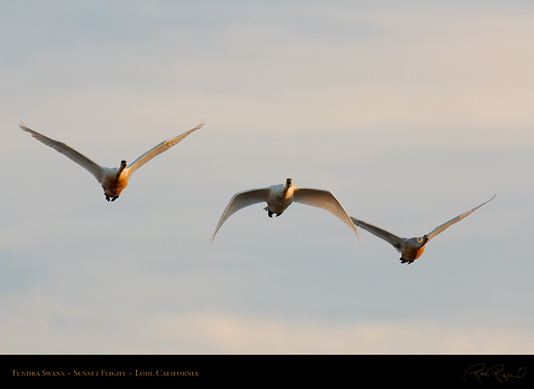 TundraSwans_Sunset_X7264