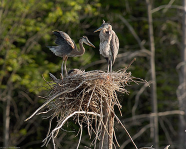 Nesting_GBH_TryingOut_theWings_5555