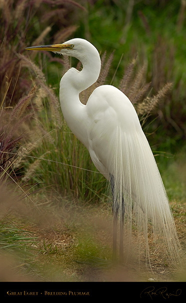 GreatEgret_BreedingPlumage_9168