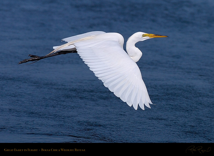 GreatEgret_Flight_HS4772