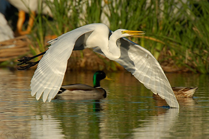 GreatEgret_Flight_X7426