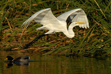 GreatEgret_Flight_X7432