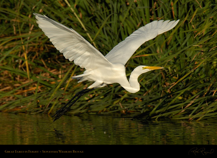 GreatEgret_Flight_X7433