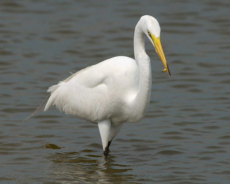GreatEgret_Hunting_4094M