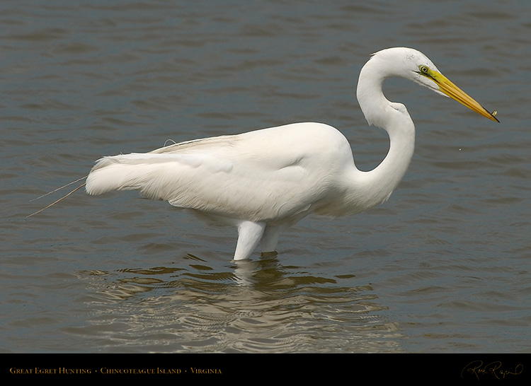 GreatEgret_Hunting_4143