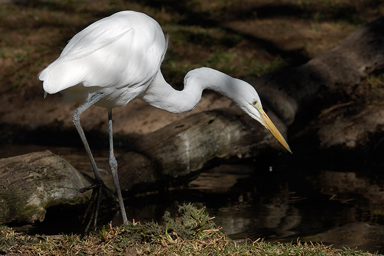 GreatEgret_Hunting_X8261