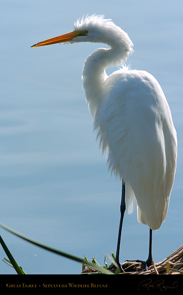 GreatEgret_Portrait_0125