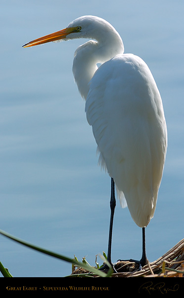 GreatEgret_Portrait_0129