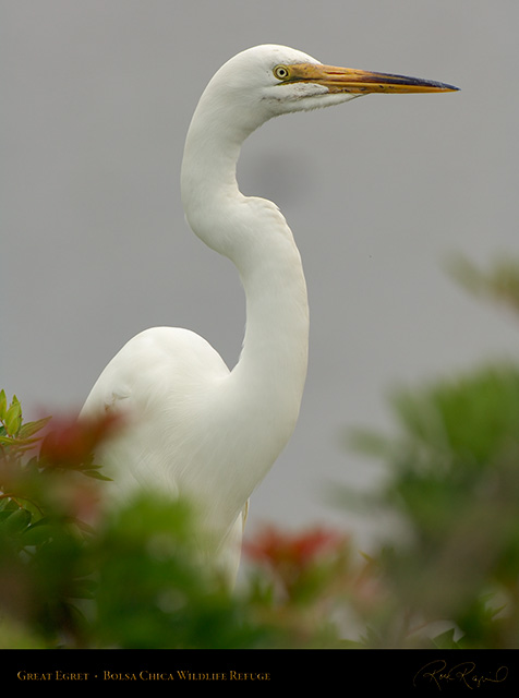 GreatEgret_Portrait_X1068