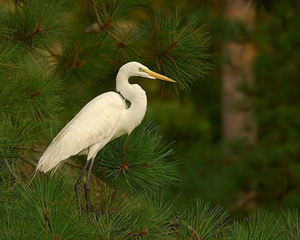 GreatEgret_Roosting_3792M