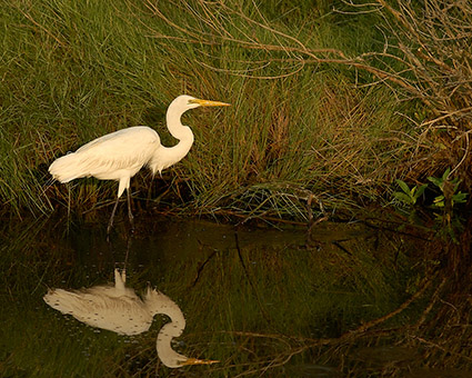 GreatEgret_SunriseHunt_3898M