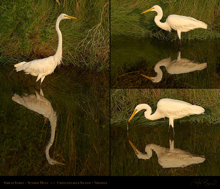 GreatEgret_SunriseHunt_M