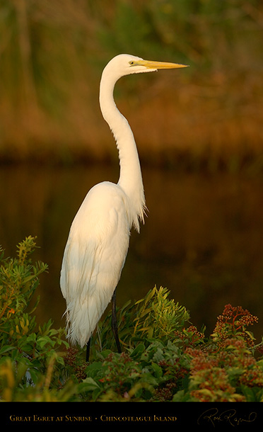GreatEgret_Sunrise_3821