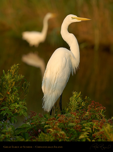 GreatEgret_Sunrise_3828
