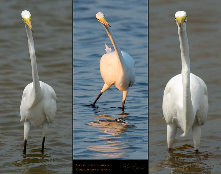 GreatEgret_head-on_M