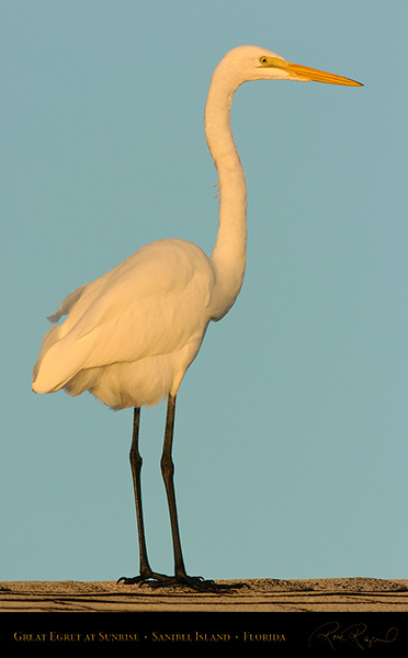 GreatEgret_onRoof_Sunrise_0135