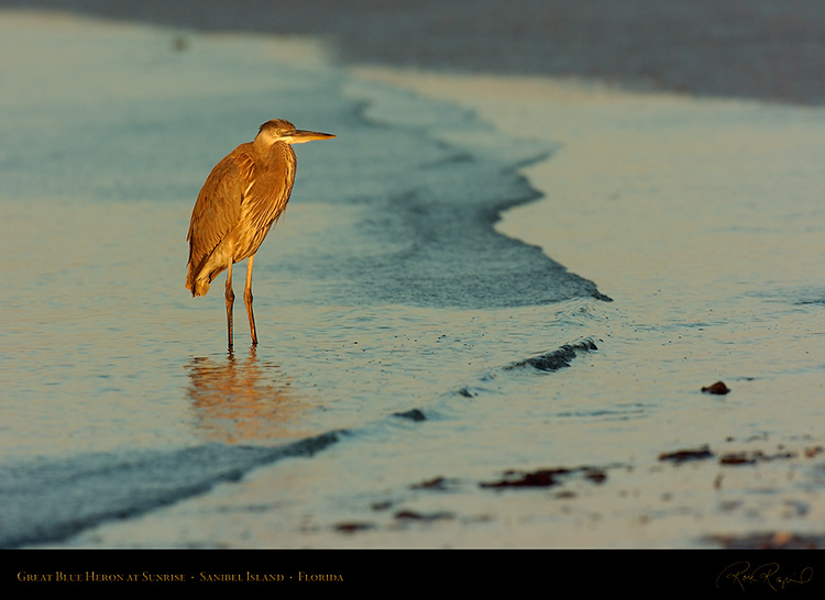 GBHeron_Sunrise_1239