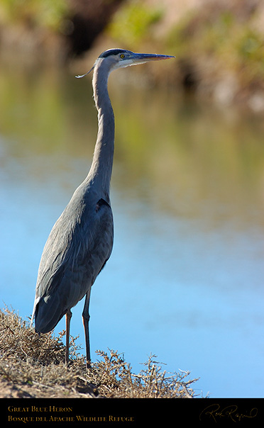 GreatBlueHeron_2453