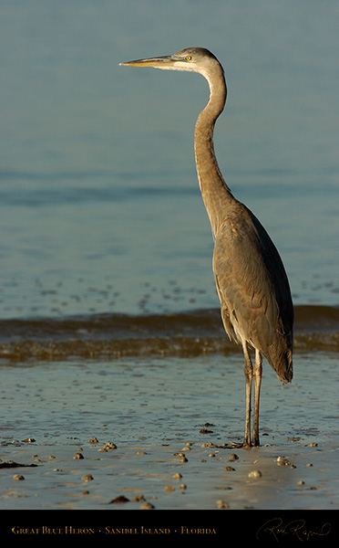 GreatBlueHeron_9817
