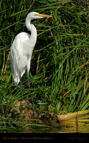 GreatEgret_X5358