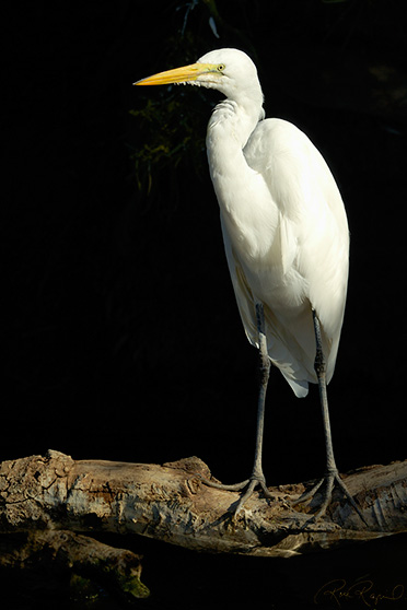 GreatEgret_X8430
