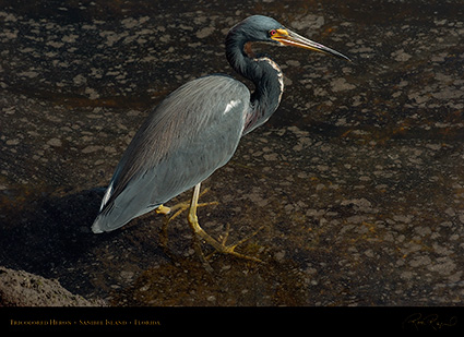 Tricolored_Heron_1628