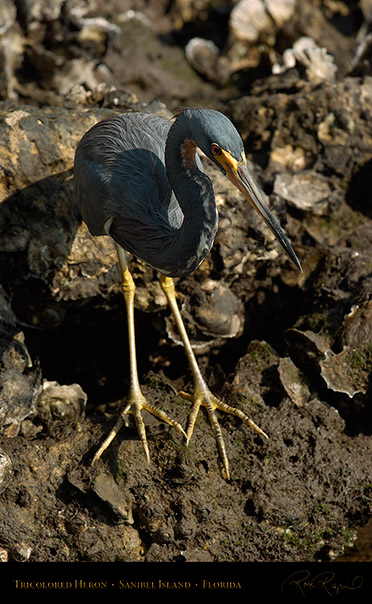 Tricolored_Heron_1634