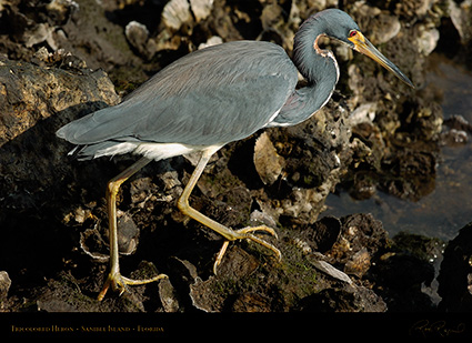 Tricolored_Heron_1637