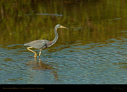 Tricolored_Heron_2131