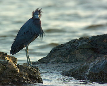 LittleBlueHeron_BadHairDay_0033