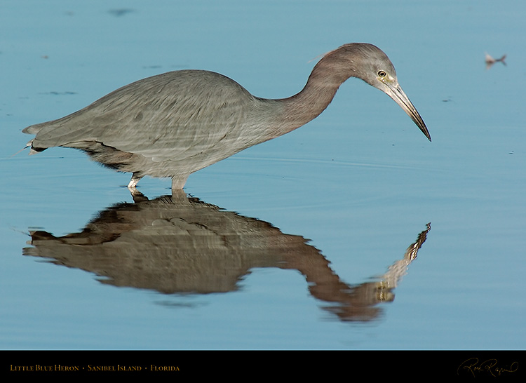 LittleBlueHeron_Sunrise_0626