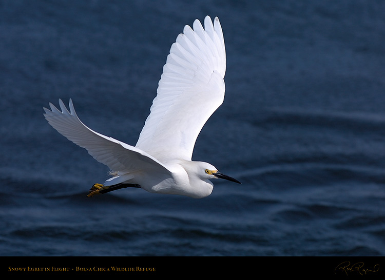 SnowyEgret_Flight_HS4713