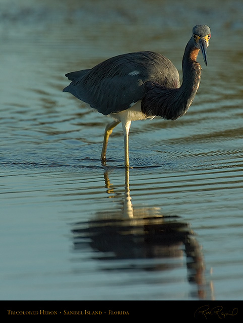 Tricolored_Heron_1533