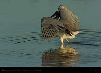 Tricolored_Heron_Display_1535