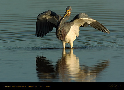 Tricolored_Heron_Display_1542