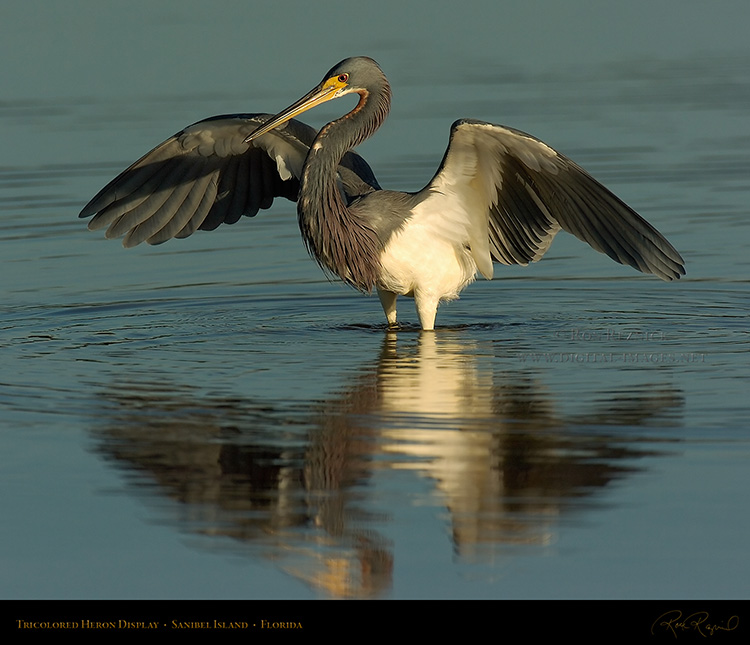 Tricolored_Heron_Display_1548M