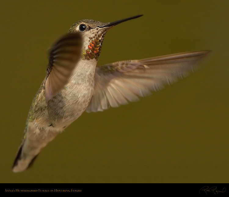 Annas_Hummingbird_Female_1224M