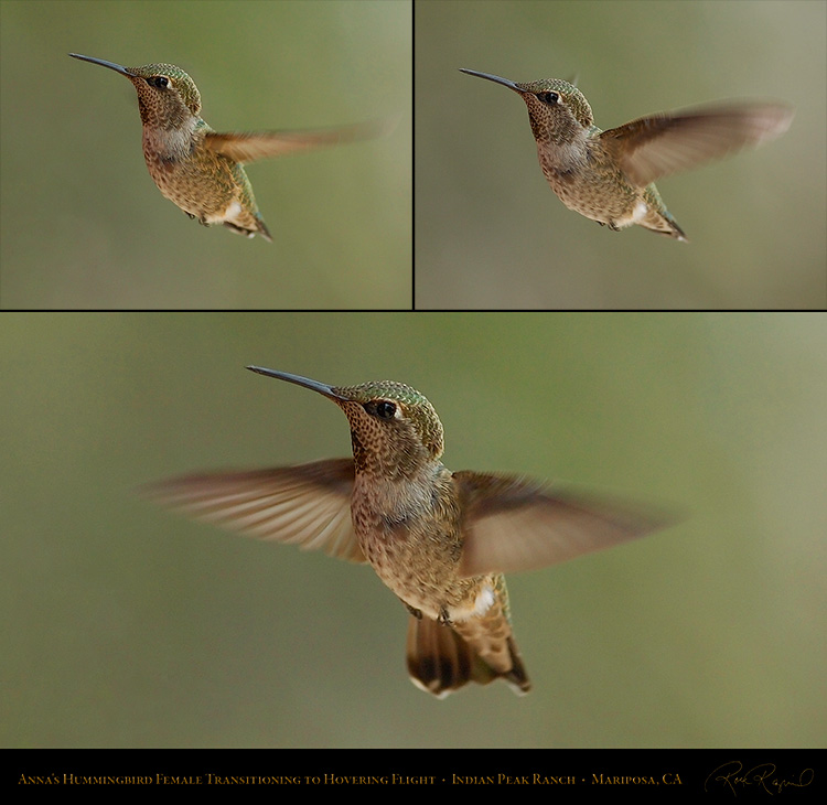 Annas_Hummingbird_Female_Flight_Study