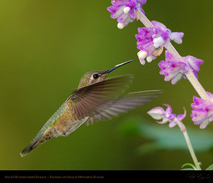 Annas_Hummingbird_Female_onSage_2870M