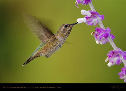 Annas_Hummingbird_Female_onSage_2877