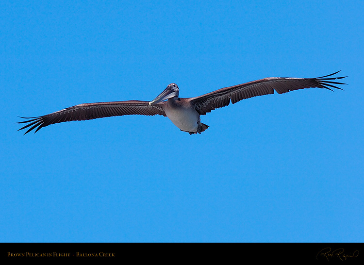 BrownPelican_Flight_HS9846