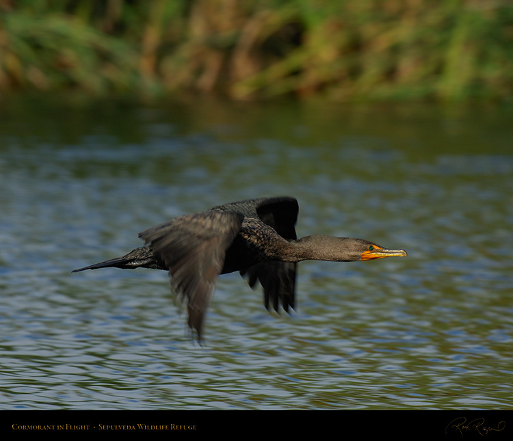 Cormorant_Flight_X5086M