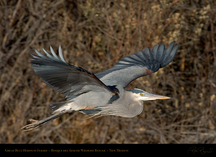 GreatBlueHeron_Flight_0878